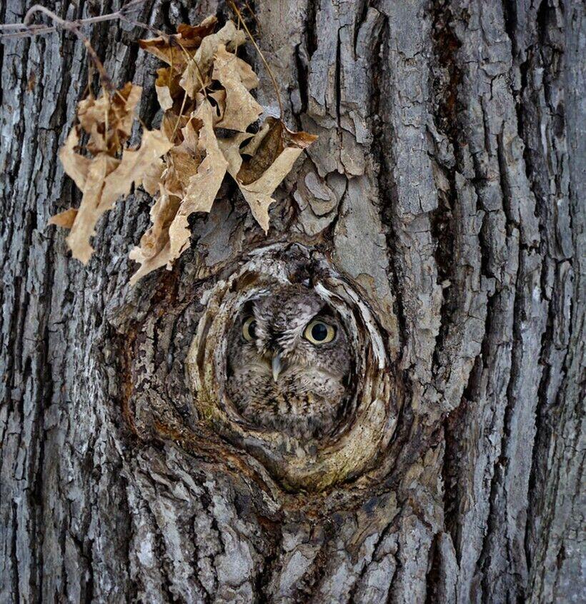 Сова-невидимка – знайдіть на фото