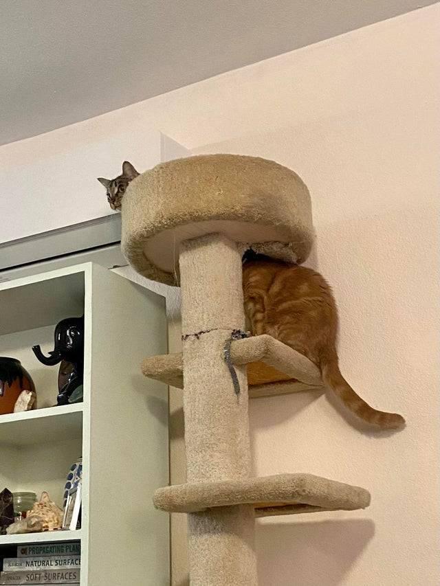 Дуже довгий кіт