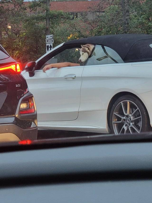 Пухнастий водій авто
