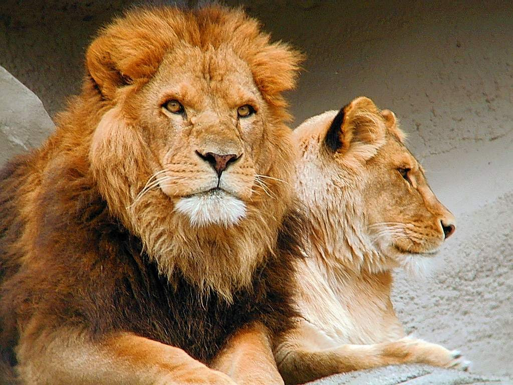 Результат пошуку зображень за запитом леви тварини