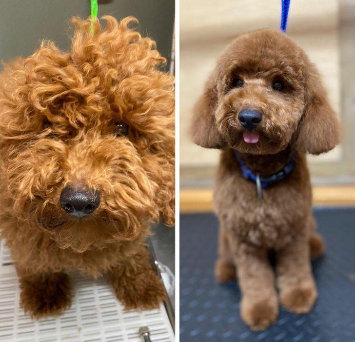 Пес підстригся вперше в житті