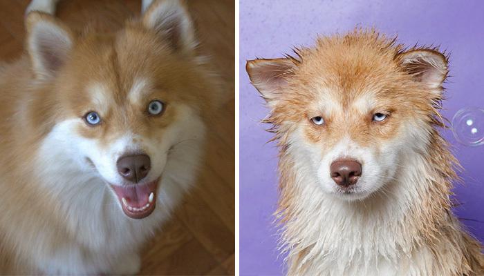 Фото собак до і після купання. Це справді смішно! - 4