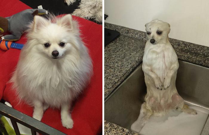 Фото собак до і після купання. Це справді смішно! - 5