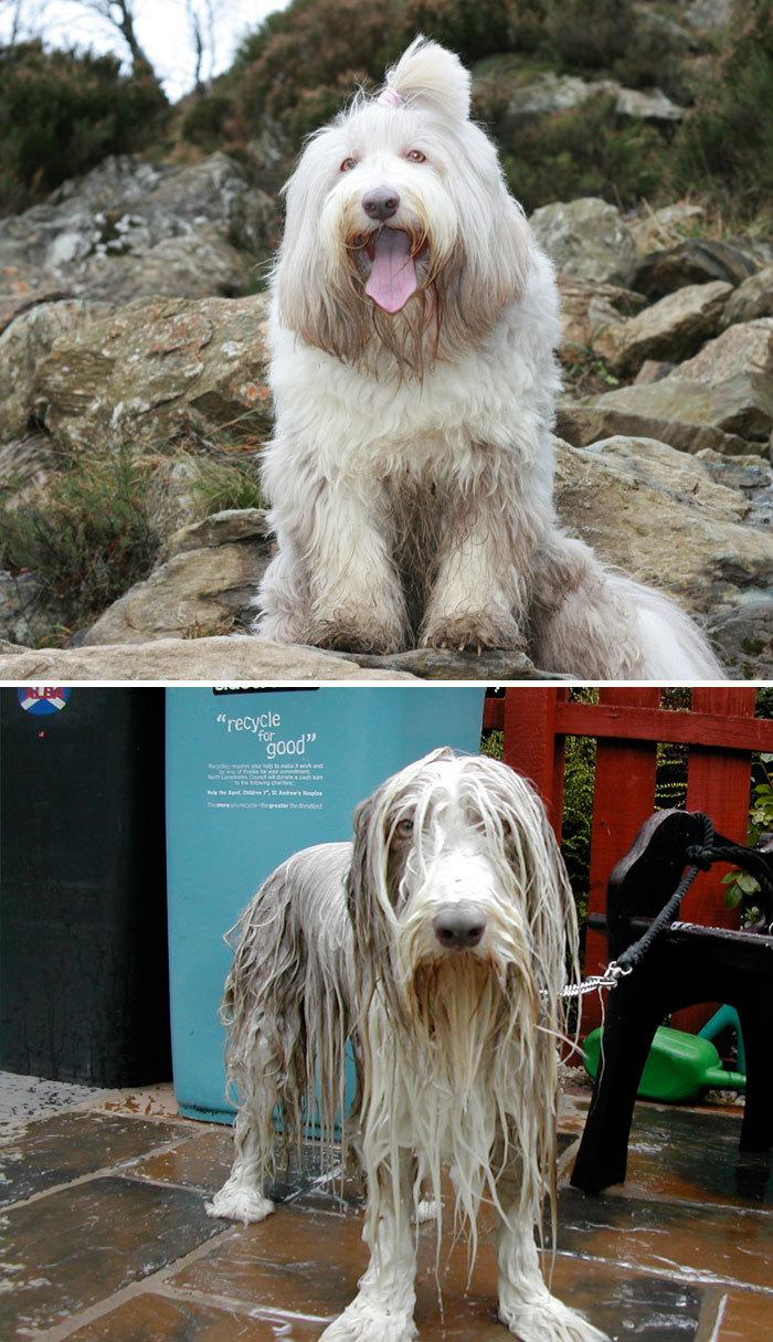 Фото собак до і після купання. Це справді смішно! - 12