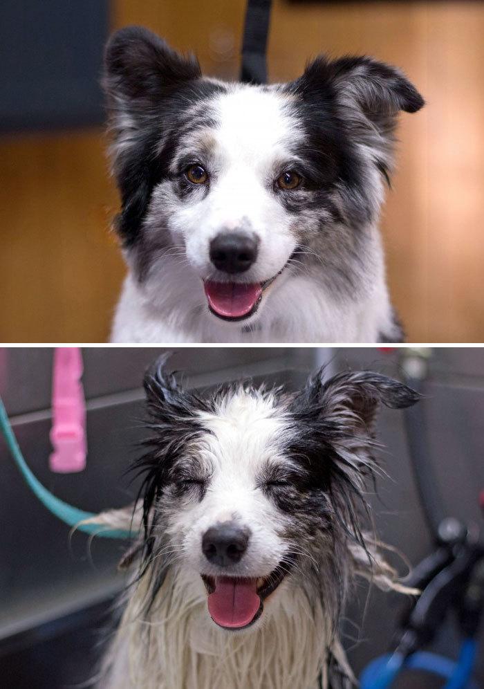 Фото собак до і після купання. Це справді смішно! - 14