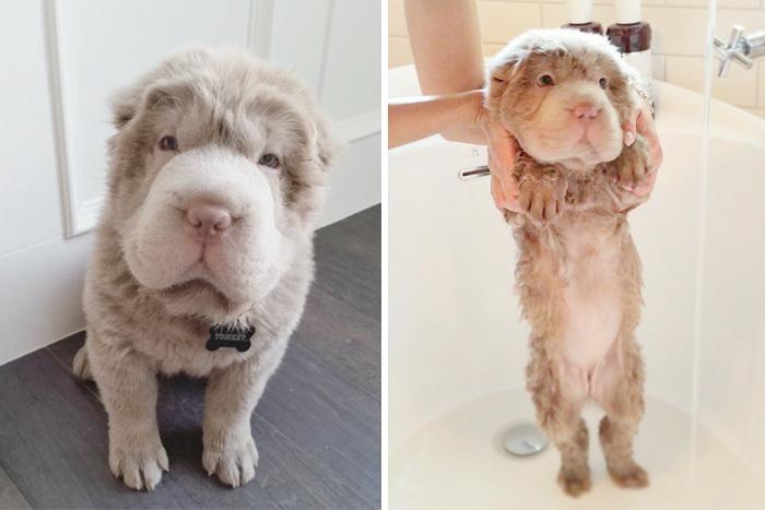 Фото собак до і після купання. Це справді смішно! - 15