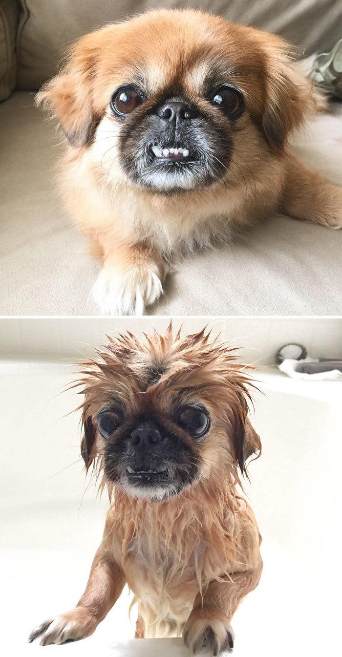 Фото собак до і після купання. Це справді смішно! - 16