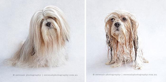 Фото собак до і після купання. Це справді смішно! - 18