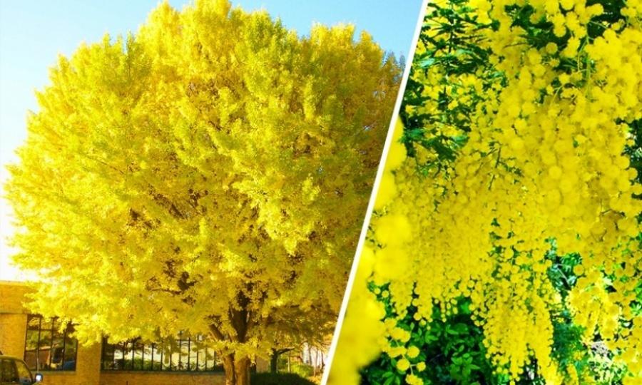 15 найкрасивіших дерев в світі - 3