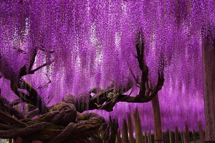 15 найкрасивіших дерев в світі - 8