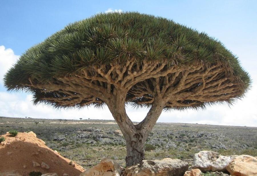 15 найкрасивіших дерев в світі - 11