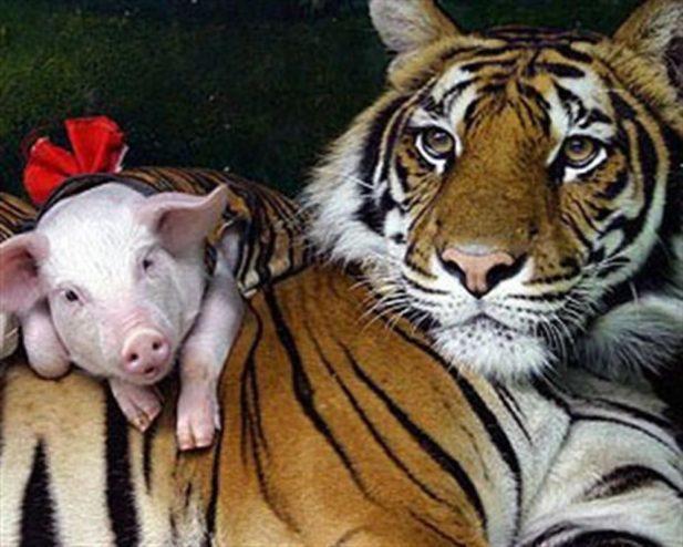 Неймовірна історія:тигриця втратила своїх діток, але працівники зоопарку не дали їй засумувати - 3