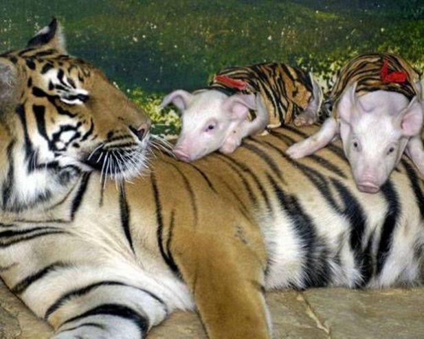 Неймовірна історія:тигриця втратила своїх діток, але працівники зоопарку не дали їй засумувати - 2